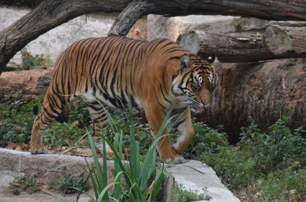 Tigre au Zoo de Barcelone