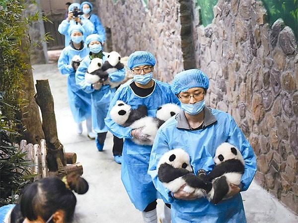 Où voir des Pandas en Chine